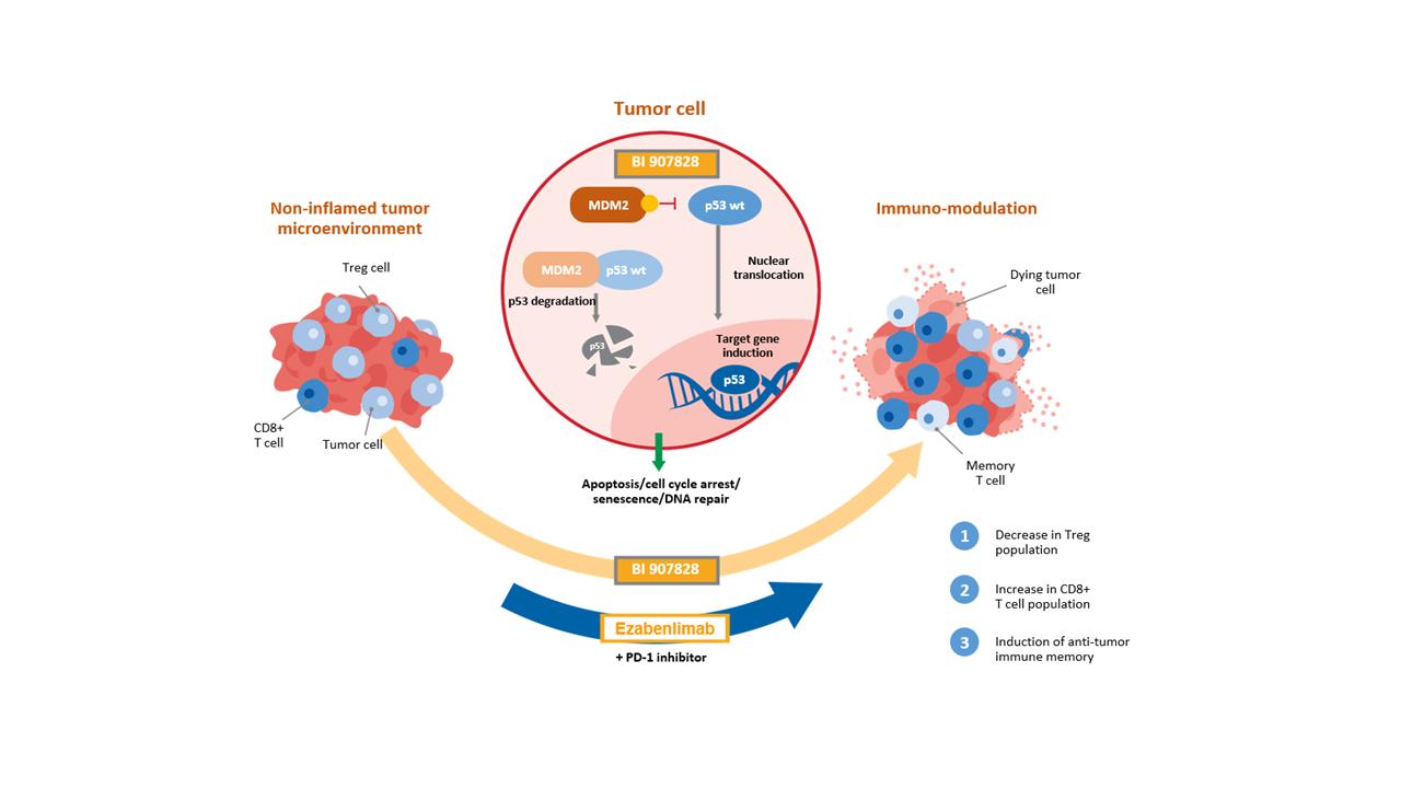 MDM2-p53 antagonist plus PD-1 mechanism of action