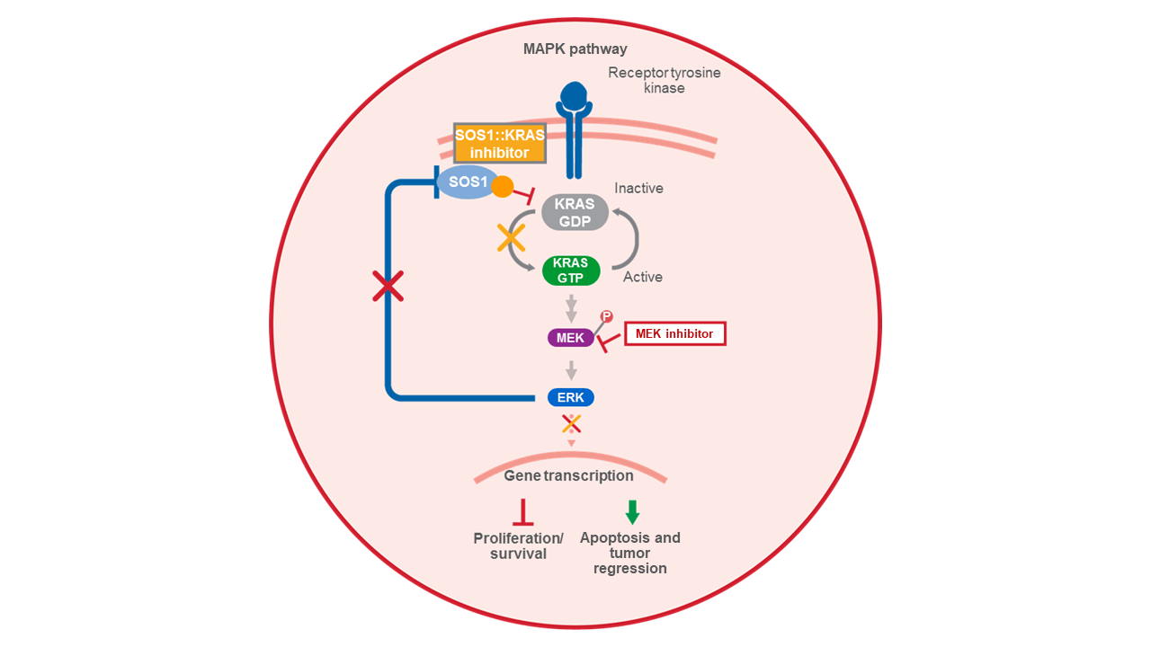 MEK inhibitor plus SOS1::KRAS inhibitor mechanism of action