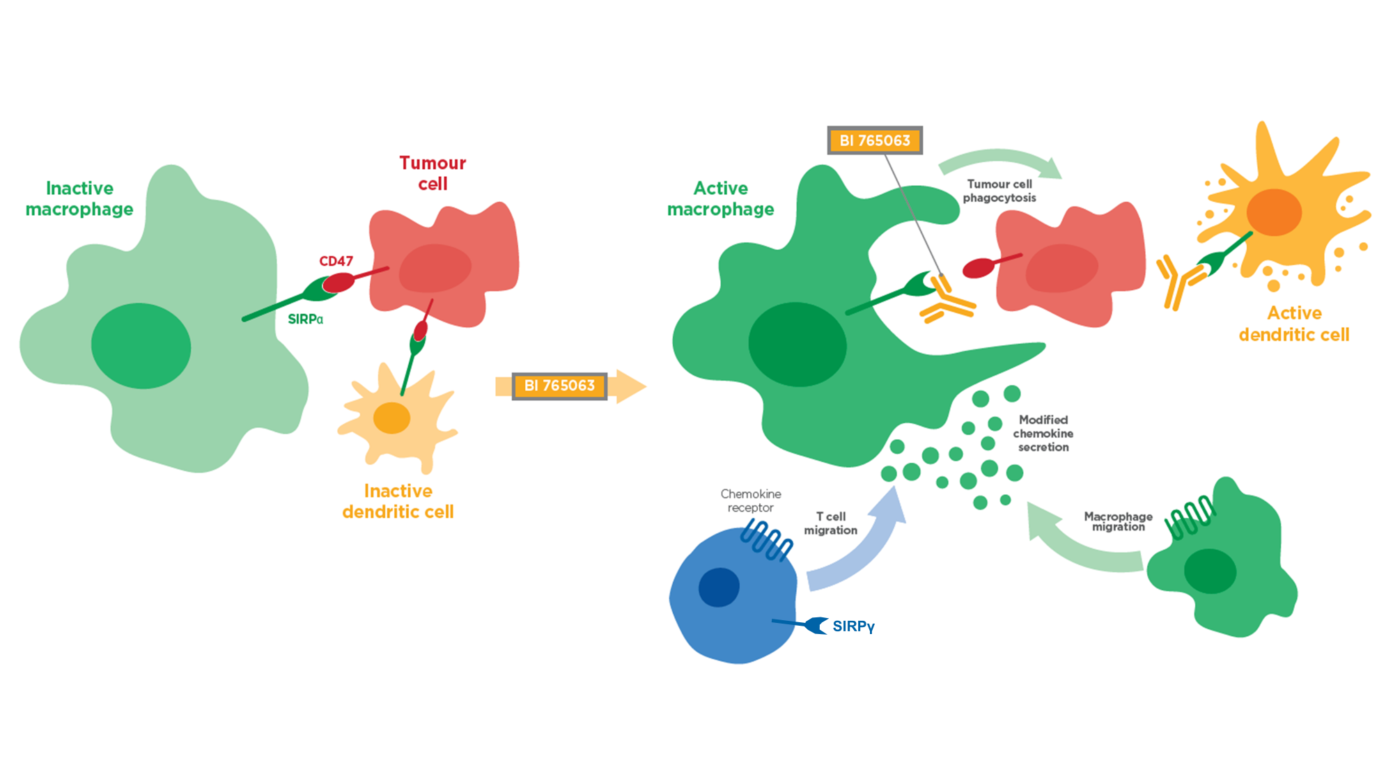 SIRPα antagonist mechanism of action