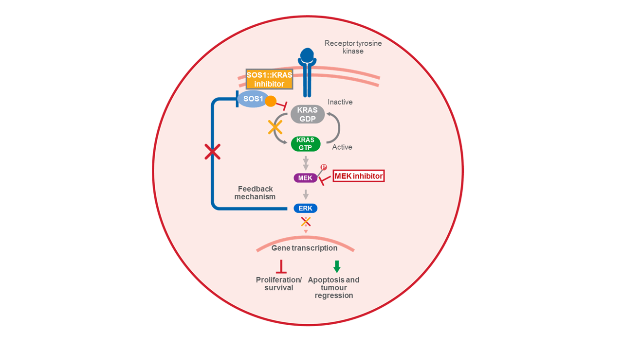 SOS1::KRAS inhibitor mechanism of action
