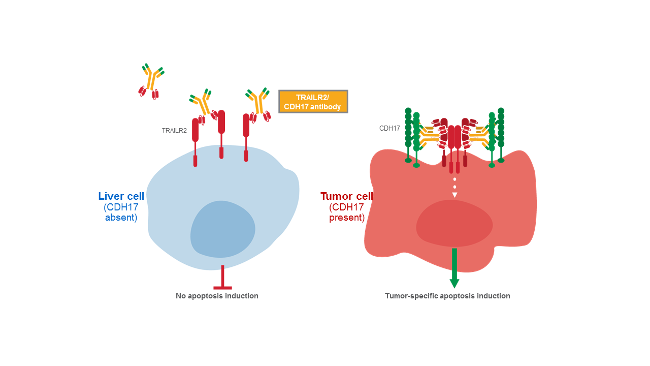 BI TRAILR2/CDH17 antibody mechanism of action