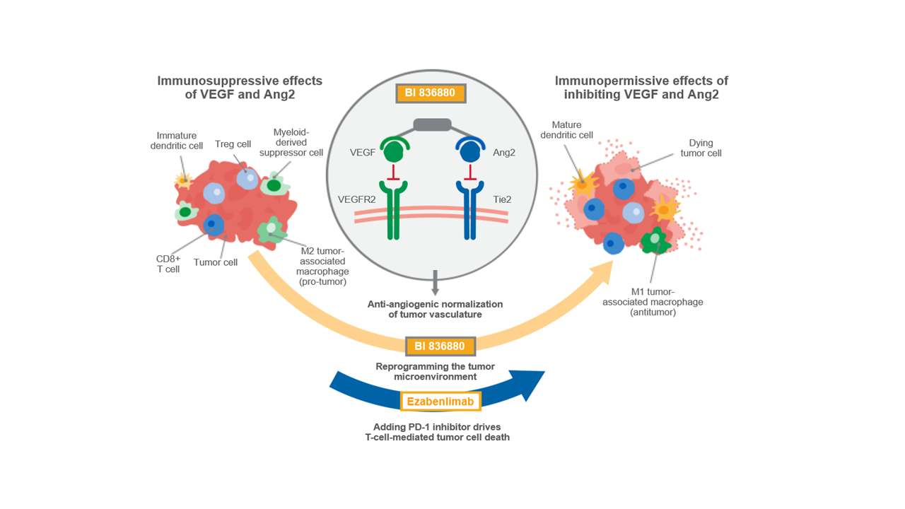 VEGF/Ang2 mechanism of action