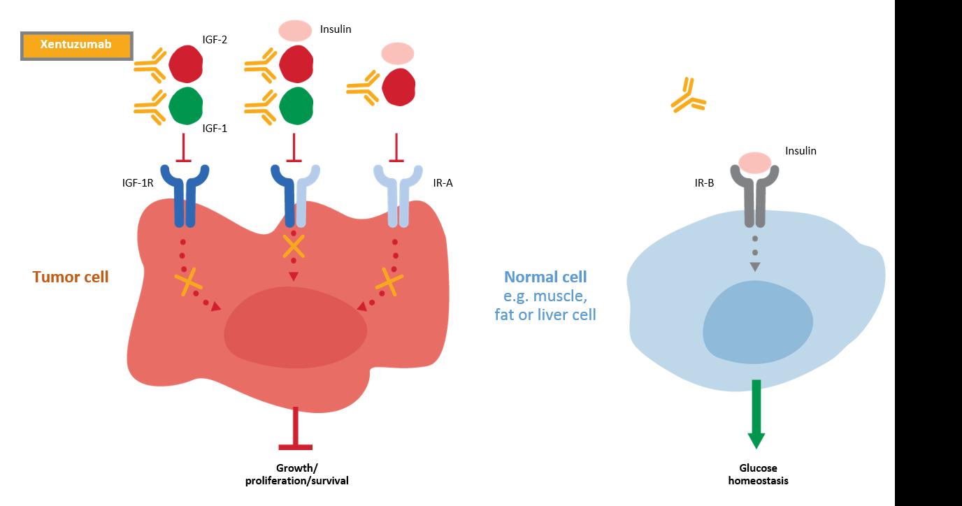 Xentuzumab's mechanism of action