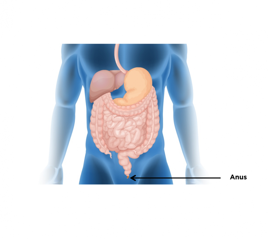 Location of the anus within the digestive system