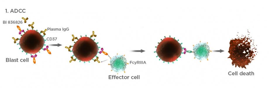 CD37 monoclonal antibody mechanism of action
