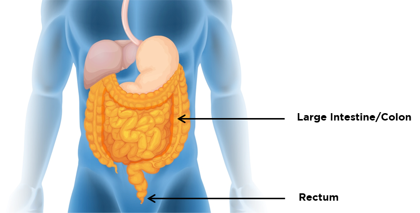 Location of the colon and rectum within the digestive system