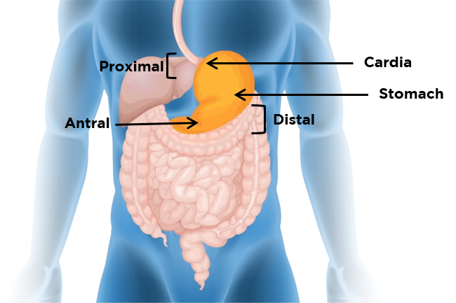 Location of the stomach within the digestive system
