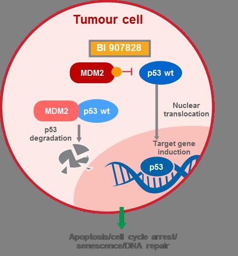 MDM2-p53 antagonist mechanism of action