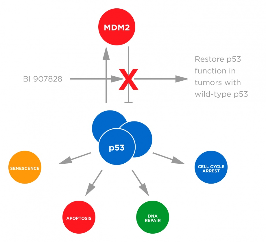 MDM2-p53 antag mechanism of action