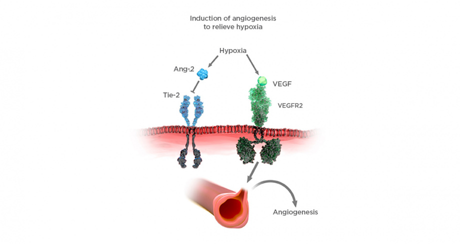 VEGF/Ang-2: mechanism of action