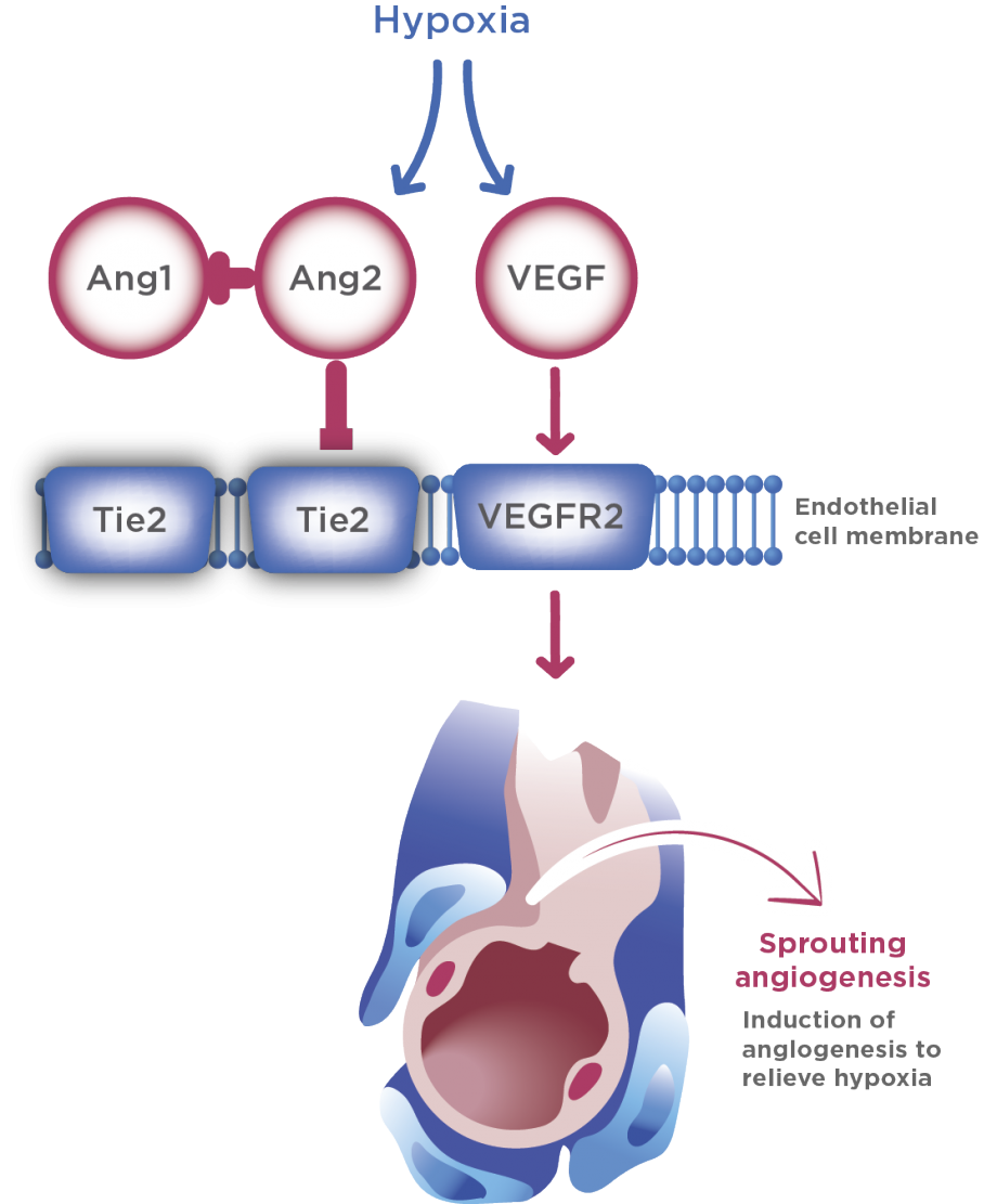 VEGF and receptor, sprouting angiogenesis