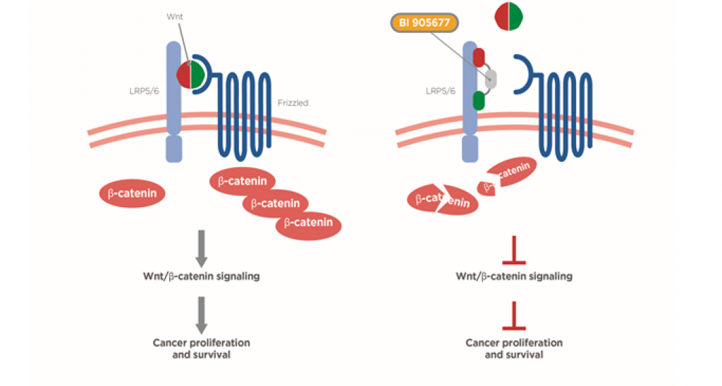 LRP5/6 antagonist cancer-cell directed mechanism of action