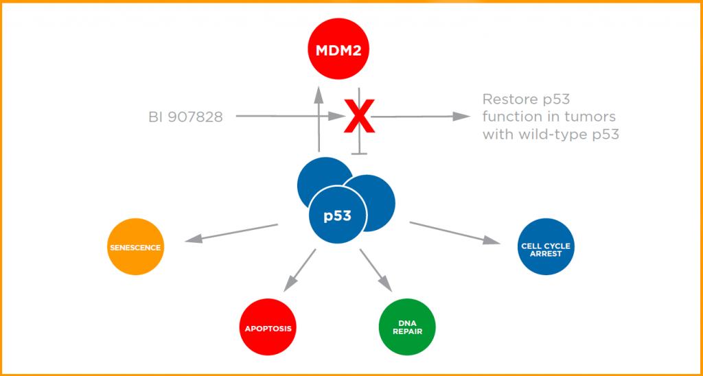 MDM2-p53 antagonist MOA